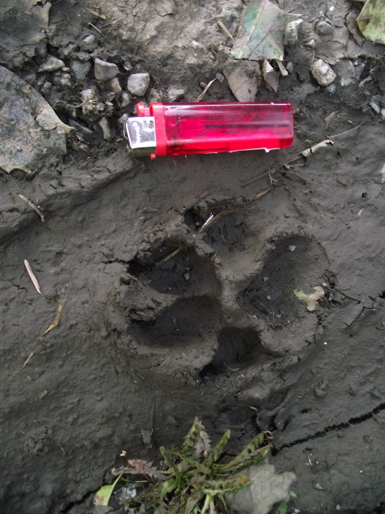Devil hound or just a normal big dog print?